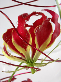gloriosa flowers underwater in a wedding centerpiece