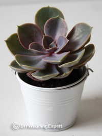 succulent plant in a white pail for use as a green wedding favor