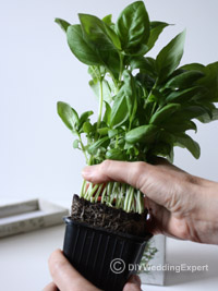 re-potting herbs for a wedding centerpiece